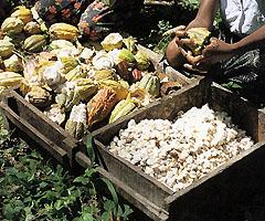 カカオの果実はラグビー・ボール位まで育つ。割るとカカオの豆(種子)が並んでいる。